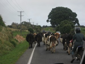 Bovine Crossing, Taranaki, North Island, New Zealand