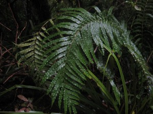 Fern, Mt. Taranaki, Taranaki, North Island, New Zealand