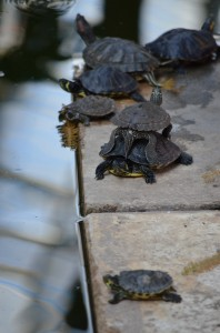 The amount of turtles in this area was unbelievable! Look at these cute ones :-)