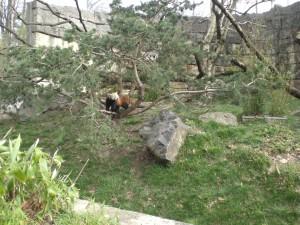 """""""Le Petit Panda"""""""