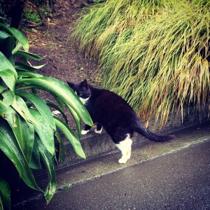 This is the very sweet cat that lives at Victoria Univeristy. The vic cat can be found right on the walk up to Uni!