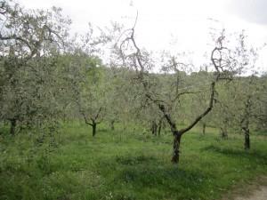 Chianti olive trees